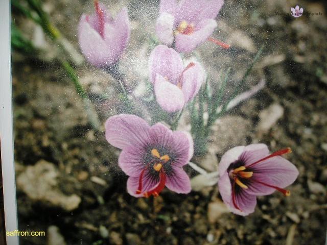 Vanilla, Saffron Imports Museo del Azafran, Monreal del Campo Teruel Spain 2004 758